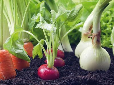 plantação de verduras