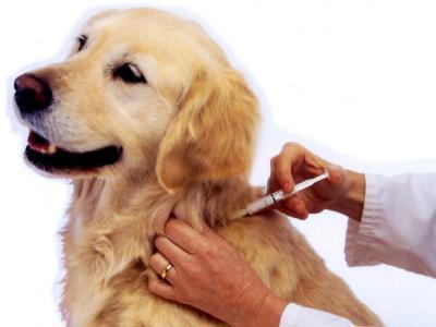 Imagem mostra cão recebendo dose de insulina