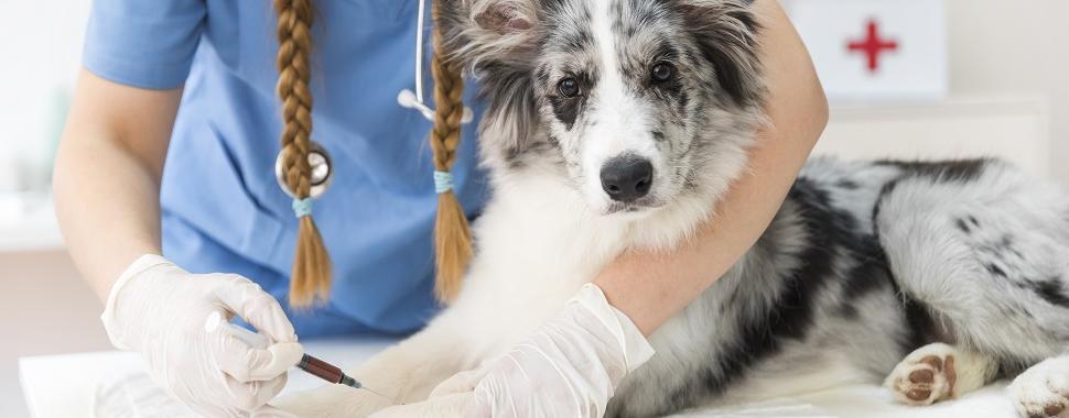 Vacinas devem ser tomadas, periodicamente, durante toda a vida dos animais. Foto: Freepik